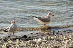 Seagulls czyścą na jeziorze przy up drylują plażę 15 Obrazy Stock