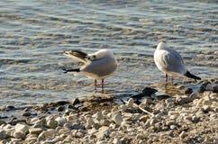 Seagulls czyścą na jeziorze przy up drylują plażę 16 Zdjęcie Royalty Free