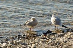 Seagulls czyścą na jeziorze przy up drylują plażę 17 Zdjęcia Royalty Free