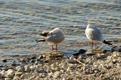 Seagulls czyścą na jeziorze przy up drylują plażę 18 Obrazy Stock