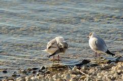 Seagulls czyścą na jeziorze przy up drylują plażę 19 Fotografia Stock
