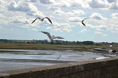 Seagulls dance on the wall of Mont saint Michel Island in France Stock Photo