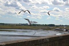 Seagulls dansar på väggen av det Mont helgonet Michel Island i Frankrike Arkivfoto