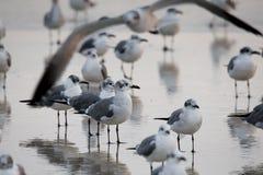 Seagulls on Daytona Beach Florida. Seagulls gather in a flock on the shorelne on a hazy morning in Daytona Beach, FL February 8, 2017 Stock Image