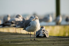 Seagulls on a Deck Royalty Free Stock Photography