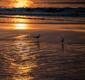 Seagulls dinner. Seagulls are feasting at low tide during a golden  sunset Stock Image
