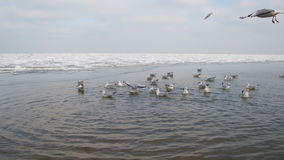Seagulls Dive into the Water for Food stock video footage