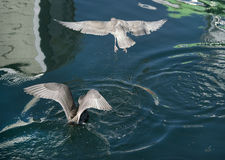 Seagulls diving for food, wings spanned Stock Images