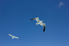 Seagulls. Dominican seagulls in the deep blue sky Stock Photos
