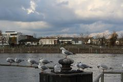 Sleeping seagulls, river, sky, clouds. Seagulls doze on the background of the river and cloudy sky, sleeping stock photography