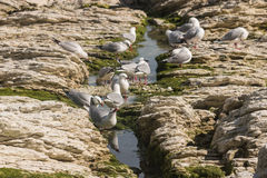 Seagulls drinking from rock pool Royalty Free Stock Photography
