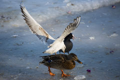 Seagulls and ducks eating on the river. Seagulls and ducks eating on the frozen river stock image