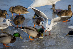 Seagulls and ducks eating on the river. Seagulls and ducks eating on the frozen river Stock Photography