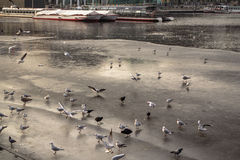 Seagulls and ducks Stock Photography