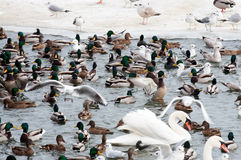 Seagulls and ducks at winter time Royalty Free Stock Images
