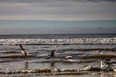 Seagulls at Dutch coast Stock Image