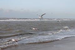 Seagulls at Dutch coast Royalty Free Stock Image