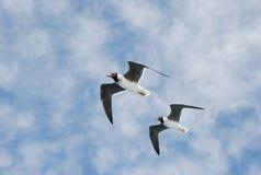 seagulls dwa Zdjęcie Royalty Free