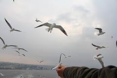 Seagulls. Royalty Free Stock Photos