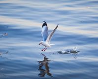 Seagulls eating. In the sea Stock Image