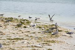 Seagulls eating dead fish washed up on the shore. royalty free stock photos
