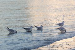 Seagulls eating on the shore of the beach royalty free stock photography