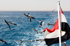 Seagulls and egypt flag. Red sea royalty free stock image