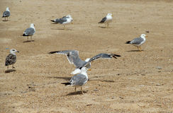 Seagulls on the empty beach Royalty Free Stock Photo