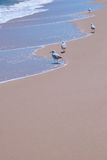 Seagulls Enjoying Gentle Waves at Beach. Seagulls walk along the edge of the water and sand on a peaceful day at the beach. Waves gently lap on the shore. Extra Royalty Free Stock Photo