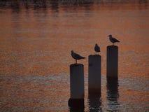 Seagulls enjoying Sunset Stock Photos