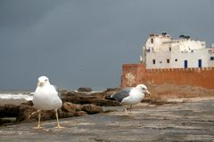Seagulls in Essaouira. View at the walking seagulls and bastion in Essaouira Stock Image