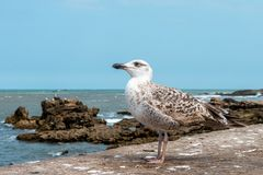 Seagulls in Essaouira Royalty Free Stock Photography