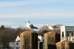 Seagulls in Essen-Kettwig at the Ruhr. Royalty Free Stock Photography