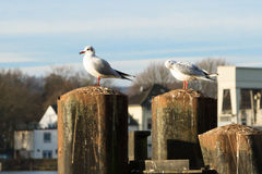 Seagulls in Essen-Kettwig at the Ruhr. Royalty Free Stock Images