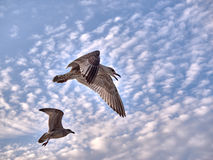 Seagulls in the evening Royalty Free Stock Photos