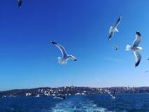 Seagulls följer oss för mat royaltyfria foton