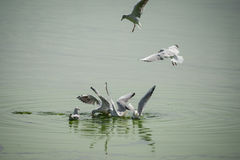 Seagulls feasting Stock Images
