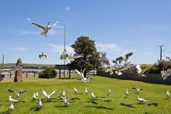 Seagulls feeding. Seagull feeding frenzy in a park by a river Stock Photo
