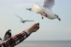Seagulls feeding from human`s hand. Selective focus and shallow depth of field. Seagulls feeding from human`s hand. Selective focus and shallow depth of field Stock Photos
