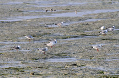 Seagulls feeding in the low tide Royalty Free Stock Images