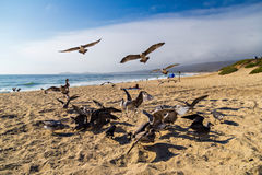 Seagulls feeding mid-air on the beach in Half Moon Bay in California Stock Image