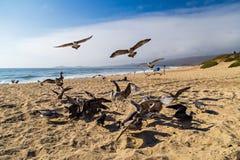 Seagulls feeding mid-air on the beach in Half Moon Bay in California Stock Image