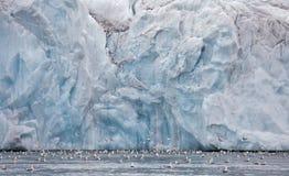 Seagulls feeding near glacier wall Royalty Free Stock Photography