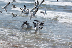 Seagulls feeding in shallow surf. Flock of seagulls feeding in shallow surf at Corpus Christi, Texas Royalty Free Stock Images