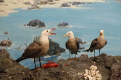 Seagulls Feeding on Shore Rocks Royalty Free Stock Image