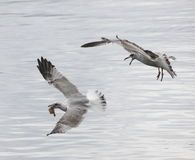 Seagulls fight. Two Seagulls  or sea gulls in flight fight for food Royalty Free Stock Photo