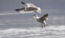 Seagulls fight Royalty Free Stock Photos