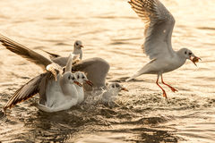 Seagulls fight Stock Images