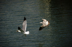 Seagulls fight for food Royalty Free Stock Photography