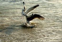 Seagulls fighting Stock Photos